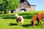 Donkey and Goat