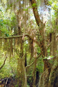 Spanish Moss covered tree