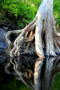 Cypress tree on Suwanee river