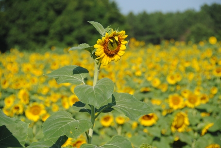 Sunflower field with one tall sprout