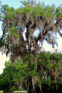 Tree with Spanish Moss