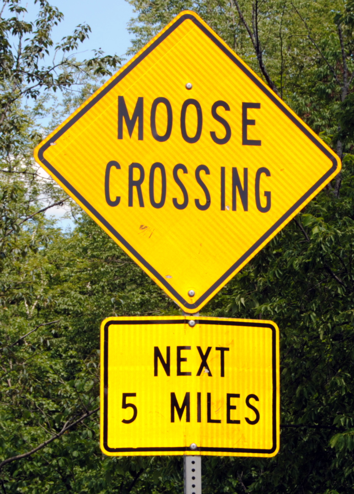 moose in new hampshire as elusive and touted as eligible bachelors