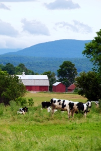Cows and barn in Vermont