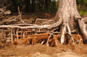 Exposed Tree Roots at Nags Head Preserve